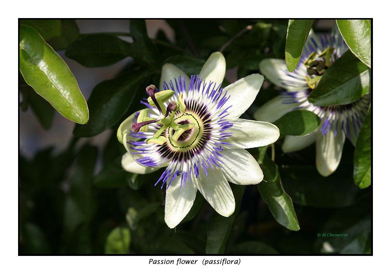 00160 passiflora.jpg