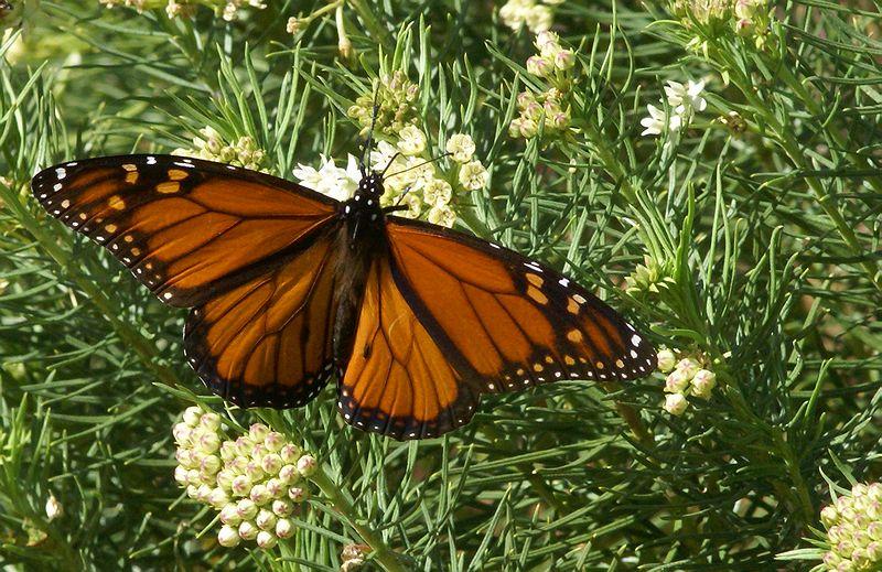 Monarch-s