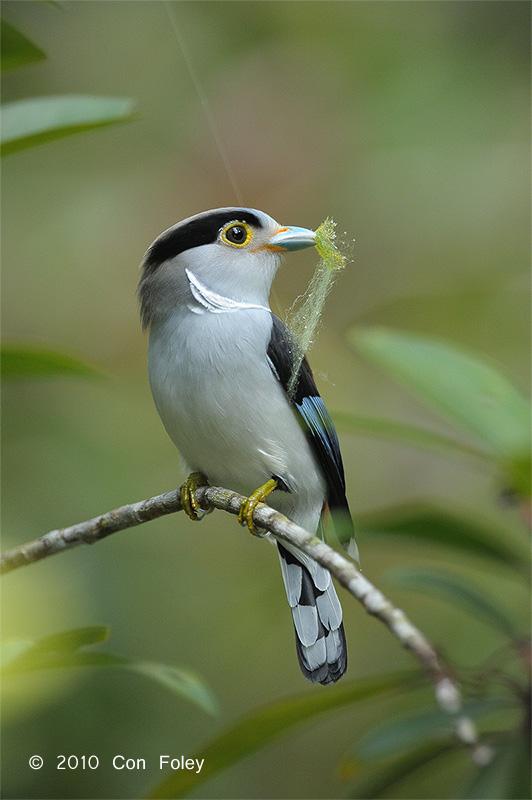 Broadbill, Silver-breasted (female) @ Bukit Tinggi