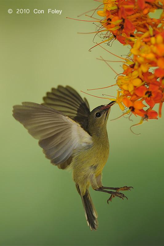 Sunbird, Crimson (female) @ Lower Peirce