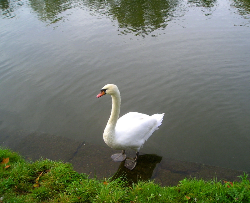 A swan with attitude on the Thames