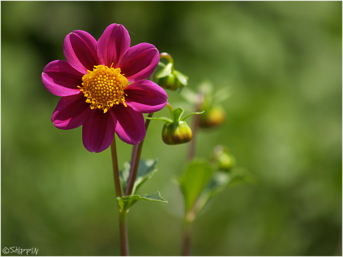 Flower in Kashmir