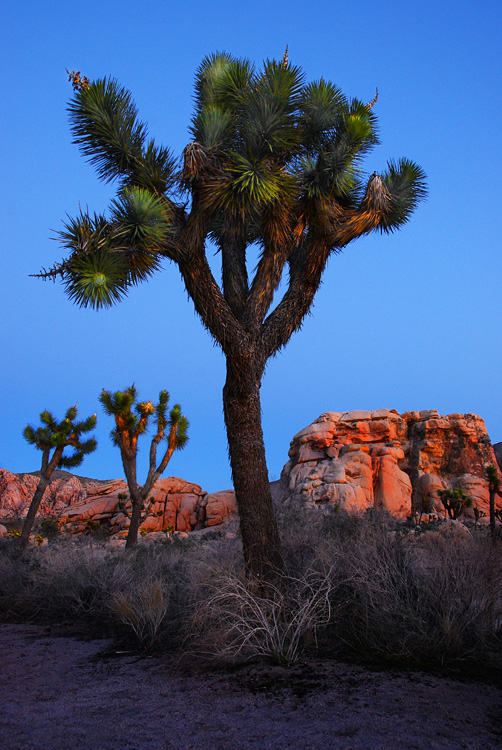 Late Afternoon Scene at Joshua Tree NP
