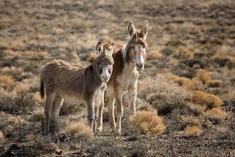 Wild Burros on the Marietta Wild Burro Range