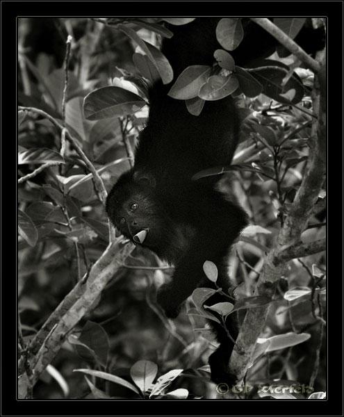 Wild Howler Monkey (BW)