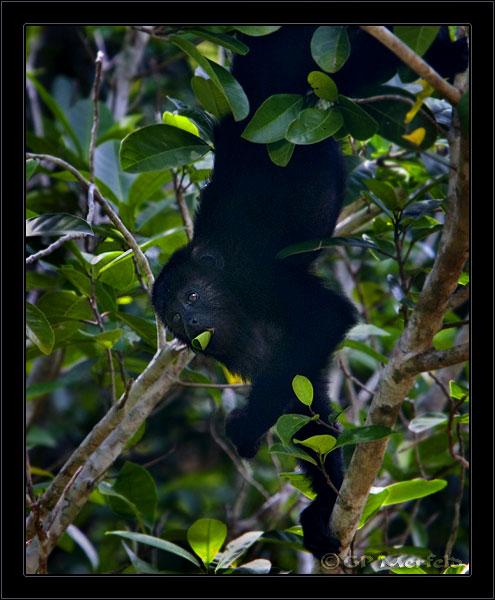 Wild Howler Monkey