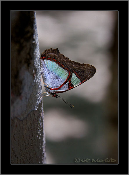 Coba Butterfly