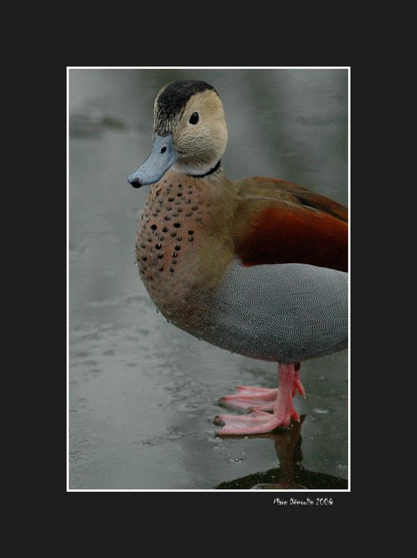 Ducks 9