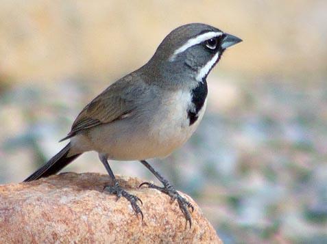Black-throated Sparrow 30772