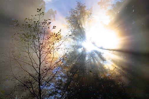Redwood Sunrays 20051127