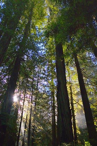 Redwood Sunrays2