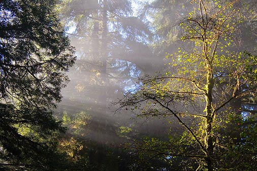 Redwood Sunrays3