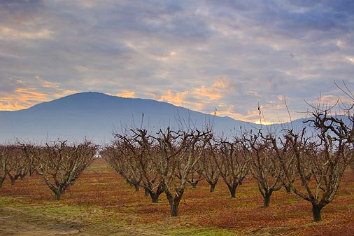 San Joaquin Valley Orchard