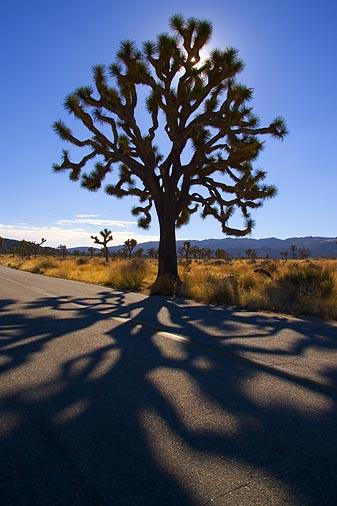 Joshua Tree 20051229