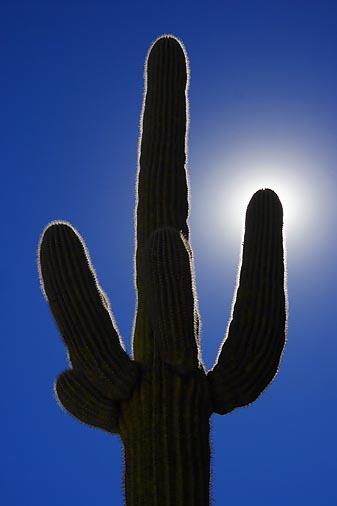Saguaro in the Sun2