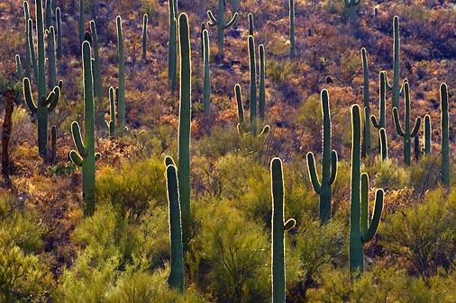 Backlit Cactus Forest 30213