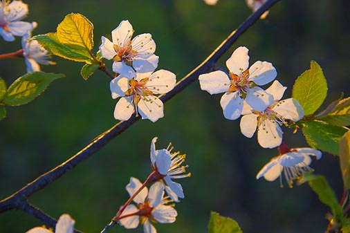 Backlit Blossoms