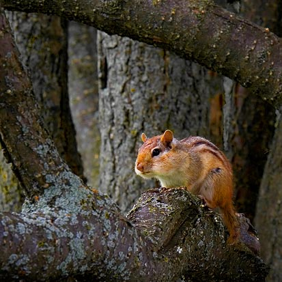 Chipmunk in a Tree 20060621