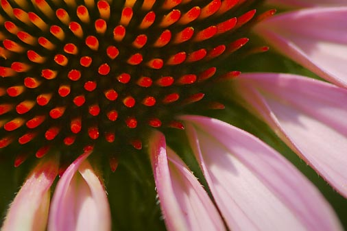 Coneflower Closeup