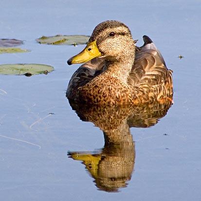 Kennedy Bay Duck