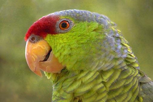 Parrot Closeup 77815