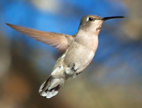 Hummingbird 80507
