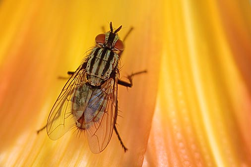 Fly On A Day Lily 15929