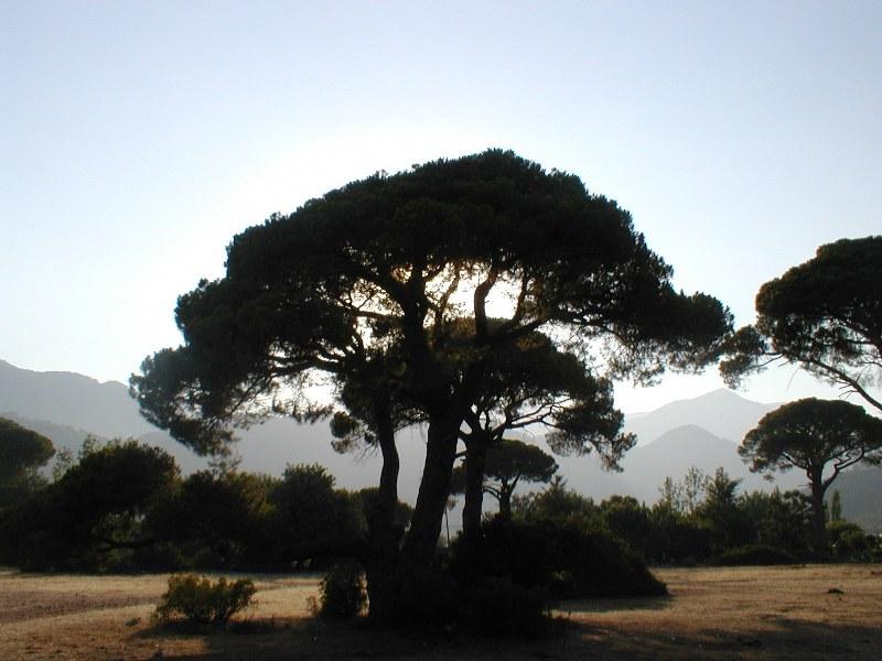 The trees of Olympos, Antalya....