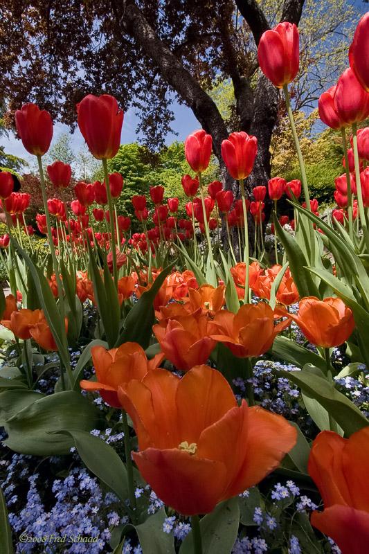 Butchart Tulips