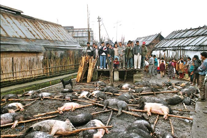 Myoko. Pigs to be sacrificed. Apatani tribe