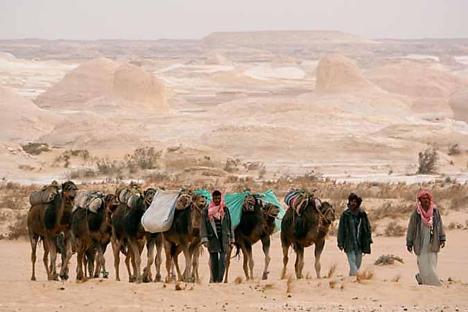 Camels in the White Desert