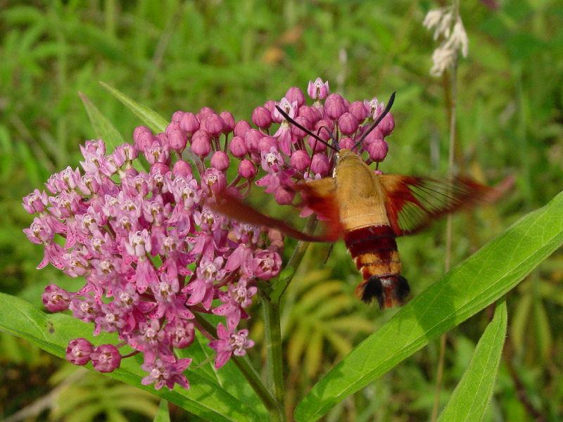 Hummingbird Moth 80404 3.jpg