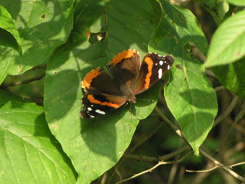 Red Admiral 071605.jpg