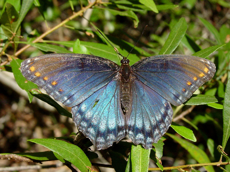 Red-spotted Purple ob 100604.jpg