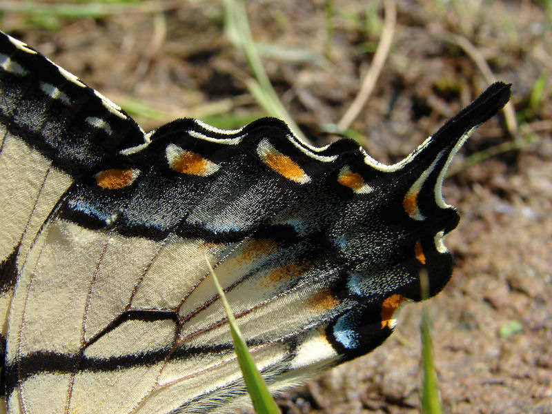 eastern tiger swallowtail ks-709 040.jpg