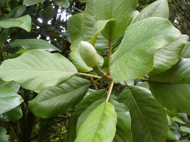 Magnolia delavayi flower bud