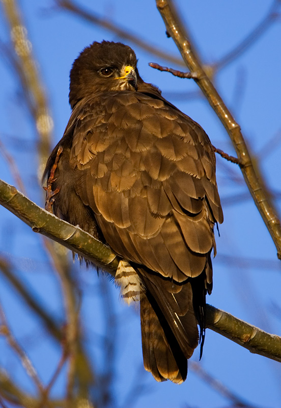 Common Buzzard and icy branches