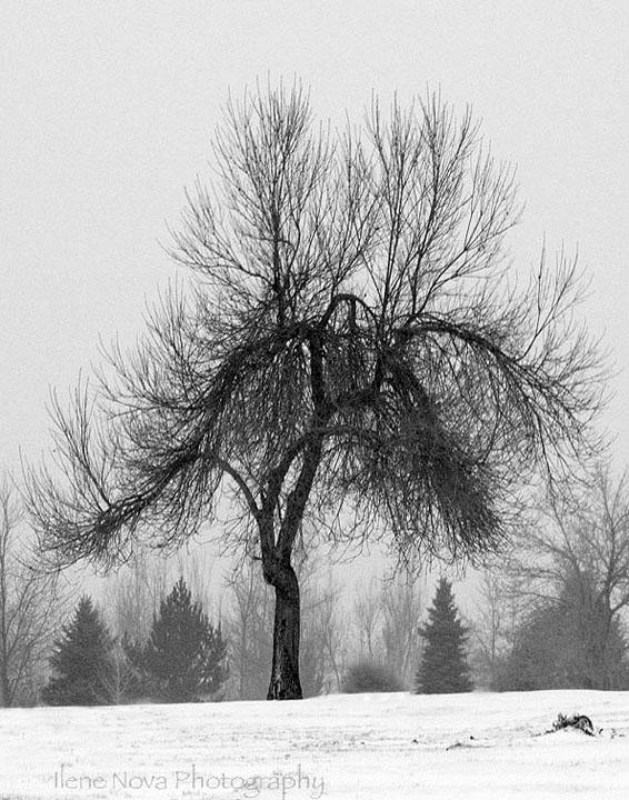 wintry tree