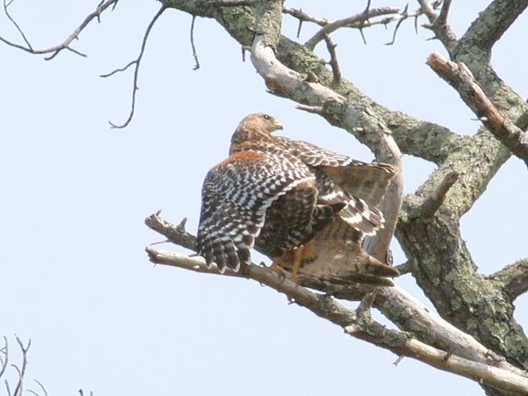 Mating Red Shouldered Hawks