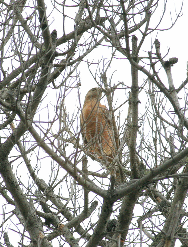 RS Hawk, male