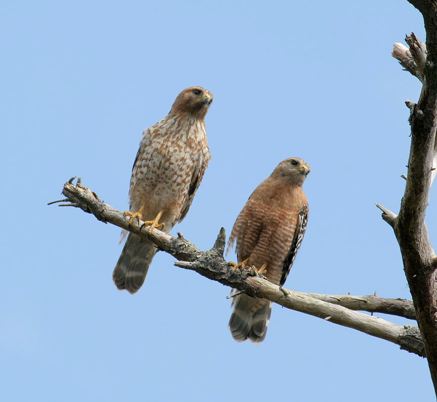 Red Shouldered Hawk Pair