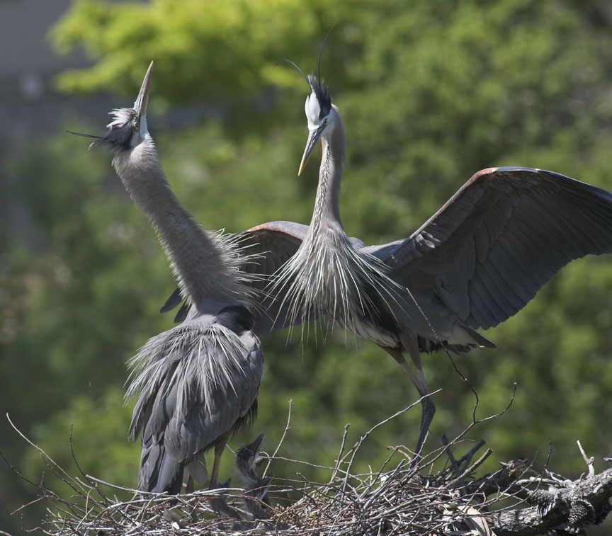 Greeting when male returns to nest