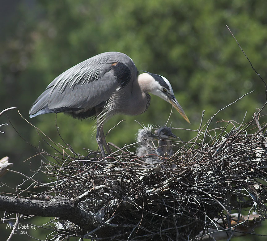 Two of three chicks in Nest 2