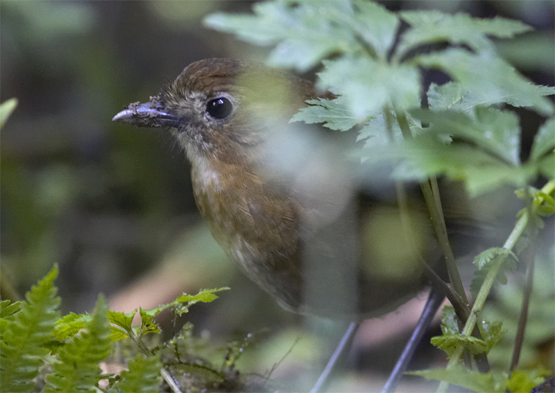 Brown-banded-Antpitta.jpg