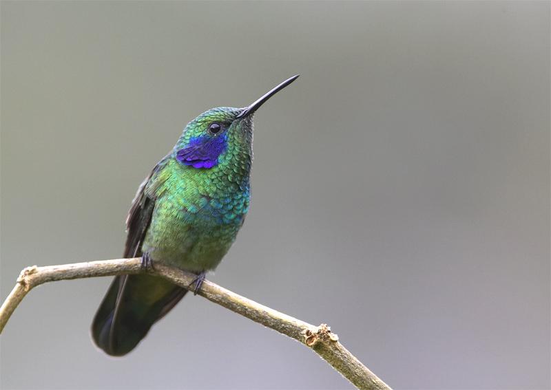 Green-Violetear2.jpg