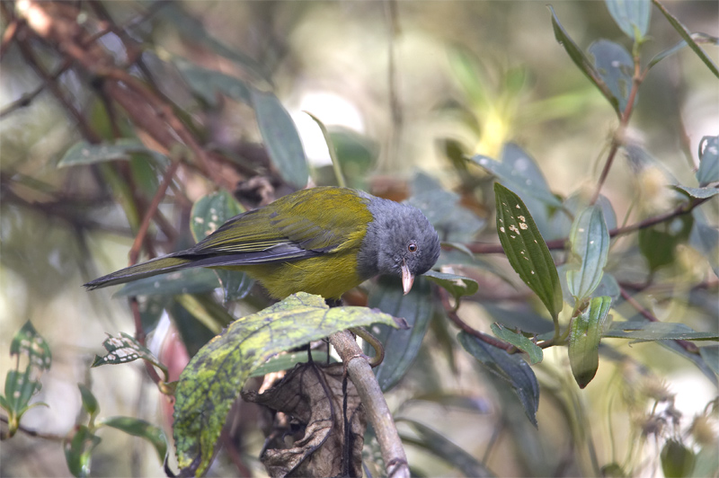 Grey-hooded-Bush-Tanager.jpg