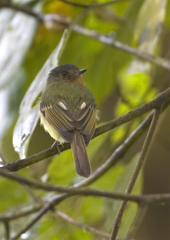 Rufous-breasted-Flycatcher.jpg