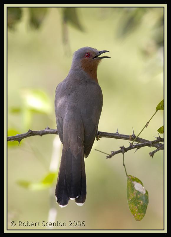 Dwarf-Cuckoo-2.jpg