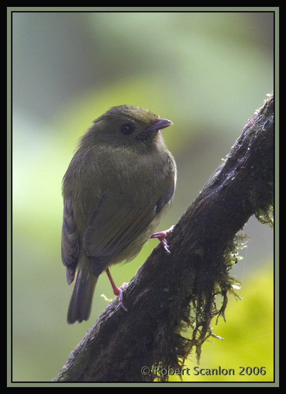 Golden-winged-Manakin.jpg