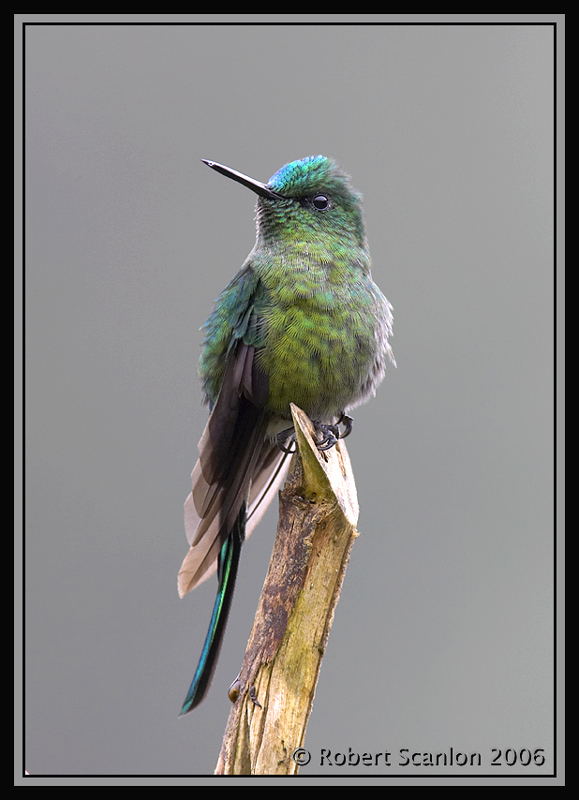 Long-tailed-Sylph.jpg